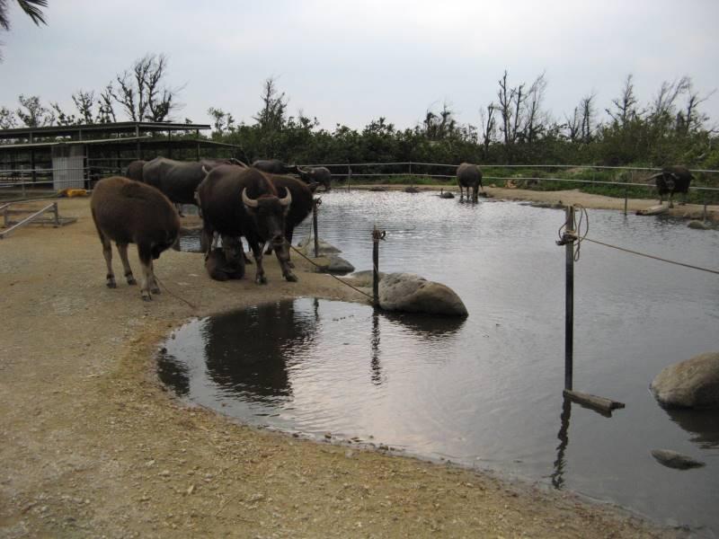 由布島には水牛がたくさんいる