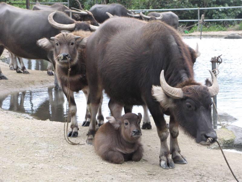 かわいい水牛の子どもIMG_0325