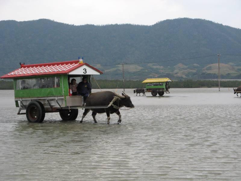 水牛車に乗って西表島から由布島へ移動