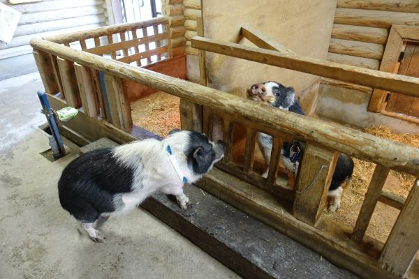 豚小屋にブタがやってくるという不思議な光景